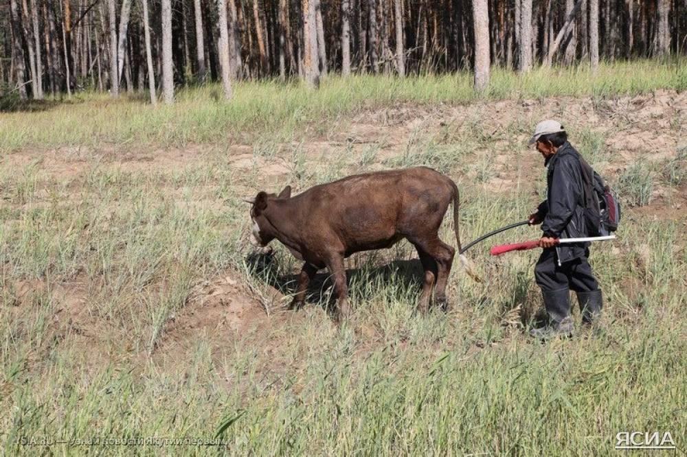 Шок и переохлаждение вынудили буренку полежать минут 5 на травке на теплом солнышке. Позже благодарное животное пастуху чуть не силой пришлось отгонять от ее спасителей.