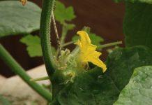 Выращивание огурцов в домашних условиях 6