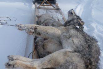 Добыча. За каждого убитого волка платят 40 тысяч рублей